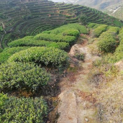 新茶 清香型铁观音  出产于西坪铁观音发源地 500克店铺价78元