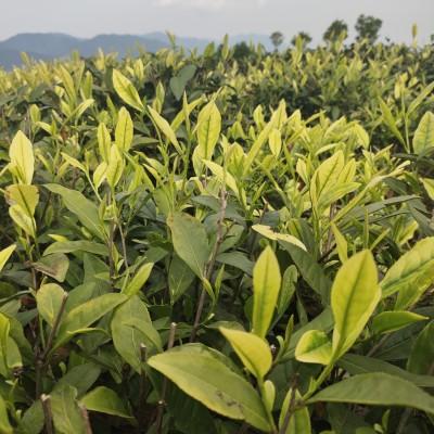 【2020明前白茶】兰花香 手工白茶春茶松阳传统香茶 绿茶新茶浓香