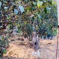 2020年小户赛古树秋茶 125克袋装 茶农自家手工纯生态古树茶 生茶