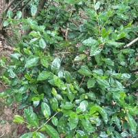 高级野生绿茶春茶