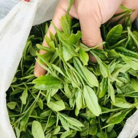 农家春茶绿茶自产自销