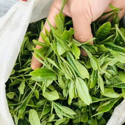 农家春茶绿茶自产自销80一斤