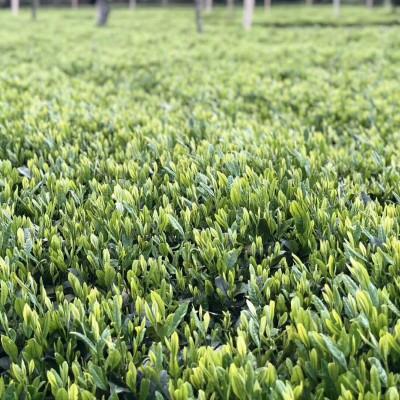 2021年春茶绿茶农家春茶