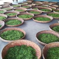 日照绿茶,2020年自家茶园手工炒制,原产地直供,叶片厚耐冲泡优点