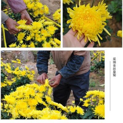 2020黄山新花茶金丝皇菊一朵一杯大朵一级黄菊20朵精装
