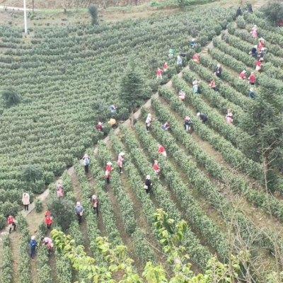 安吉白茶2020年新茶明前一级高山白茶茶叶原产地茶农直销500g