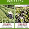 2020年新茶雀舌茶叶散装特级明前绿茶四川竹叶青毛尖嫩芽茶250g