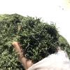 径山毛峰茶(62.5克装),来自700米的高山