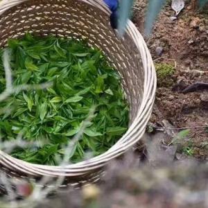凤凰单丛,天然绿色,纯手工制作500g,回馈新老客户