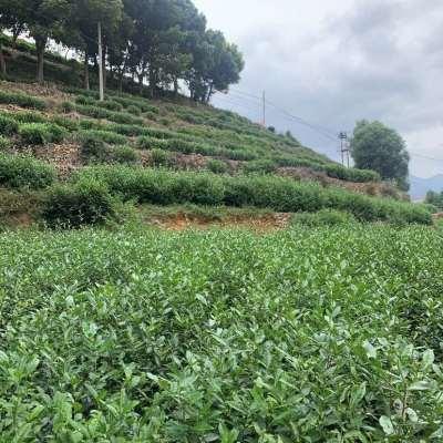 2020金牡丹双11特价无污染.品质高、独特的香茶
