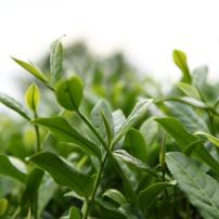 八马正味铁观音清香型2020秋茶一级茶兰花香感德铁观音