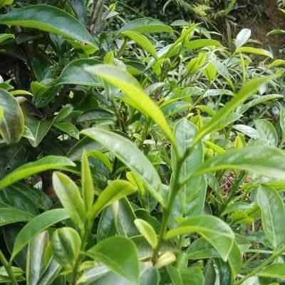 鸭屎香潮州凤凰单枞茶特级高山茶单纵单丛茶乌岽茶叶单从茶