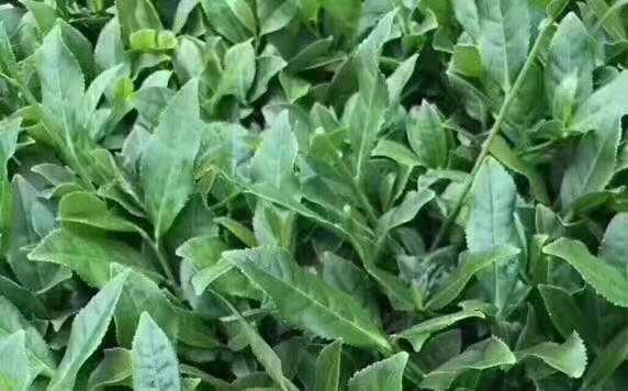 500ɡ安溪铁观音乌龙茶中的极品跻身于中国十大名茶高韵长醇厚甘鲜品质