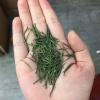2019雀舌茶绿茶明前雀舌高级绿茶250克