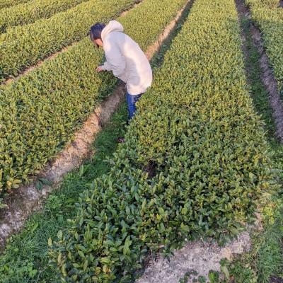 龙井新茶2019年250克包邮65元