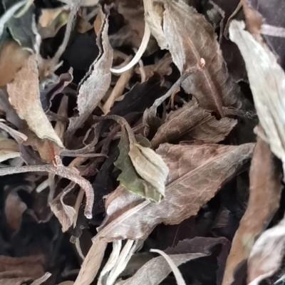 永德石佛山古树白茶*大叶乔木古树做的白茶*特级清香2019年500克