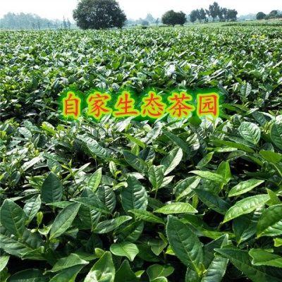 2020香茶蒙顶山素茶毛峰浓香型绿茶高山云雾口粮茶500g散茶
